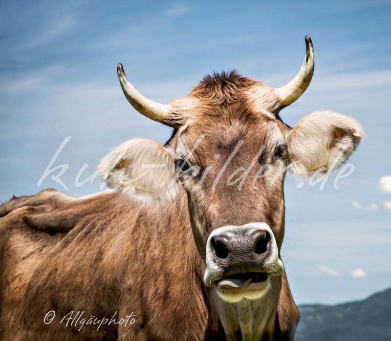Kuhbild einfach kuh kuh bilder als leinwand poster dibond und mehr - Kuh bilder auf leinwand ...