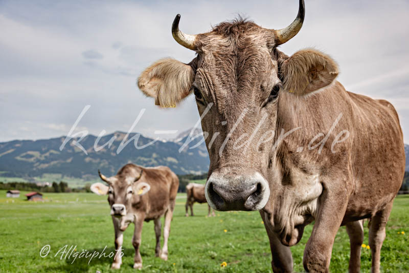 Kuhbild im detail k he mit bergen kuh bilder als leinwand poster dibond und mehr - Kuh bilder auf leinwand ...