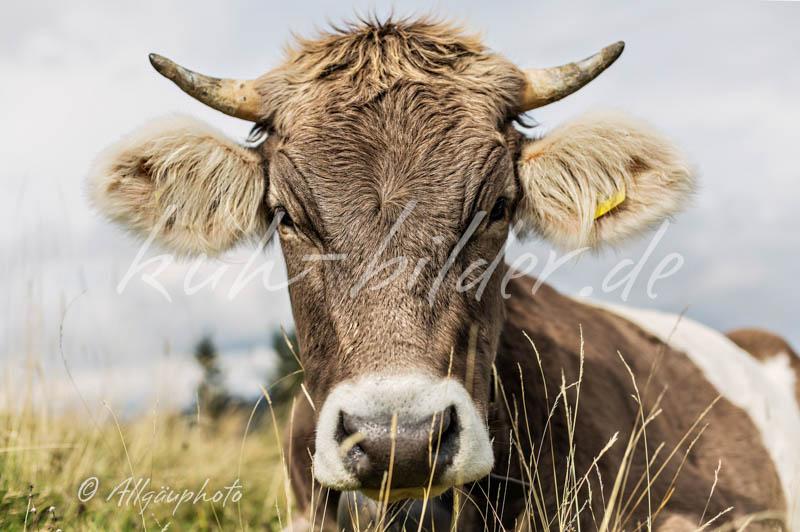 Sch nste kuh bilder kuh bilder als leinwand poster dibond und mehr - Kuh bilder auf leinwand ...