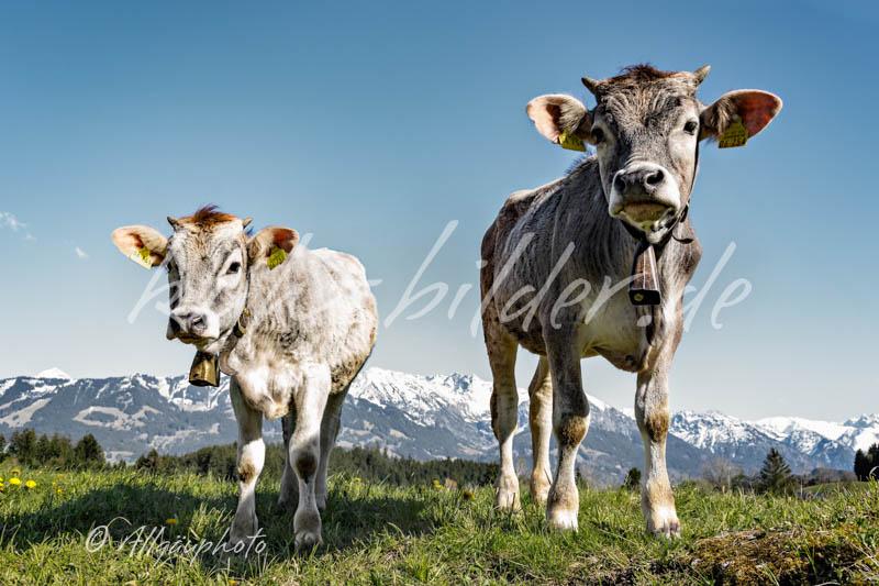 Kuh bilder zum verlieben kuh bilder als leinwand poster xxl druck tapete und mehr - Kuh bilder auf leinwand ...