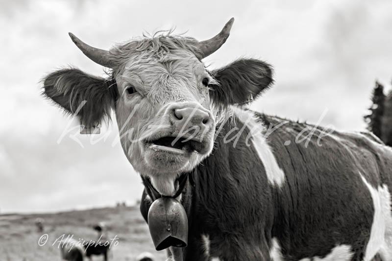 Kuhbild im detail kuh mit schiefem maul sw kuhbilder - Kuh bilder auf leinwand ...